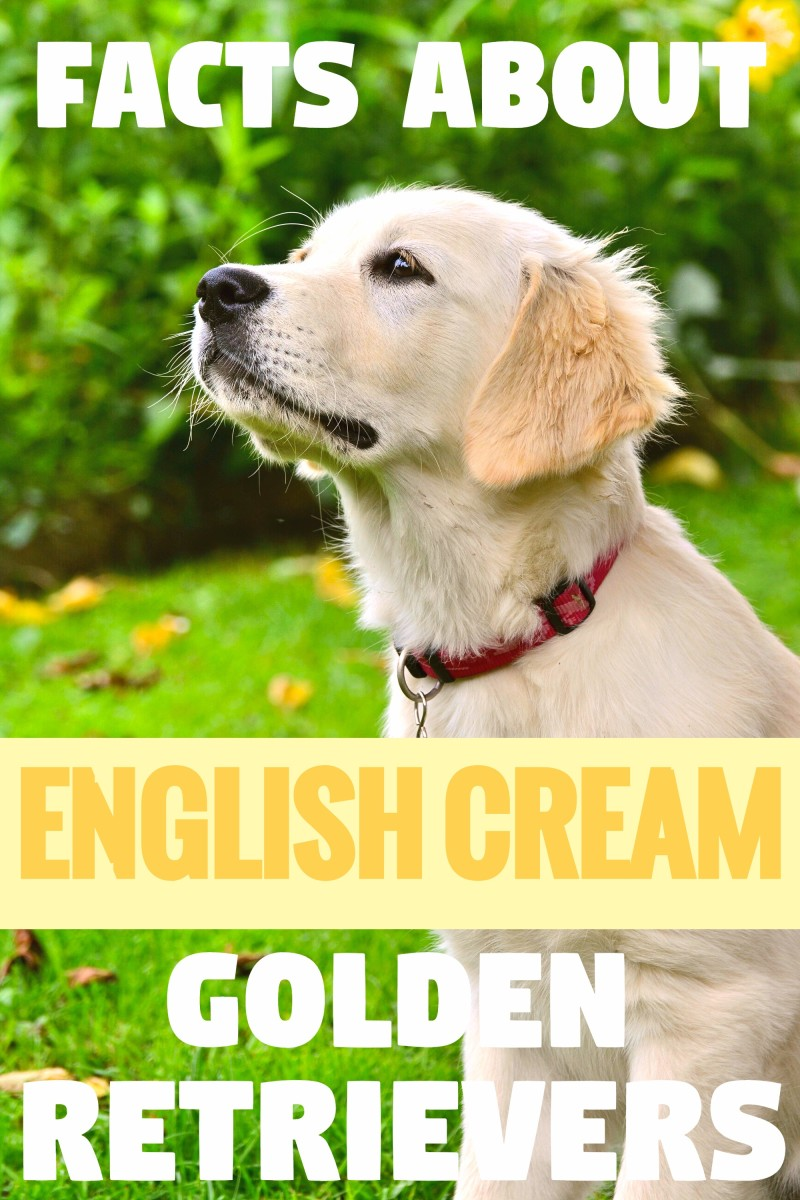 The Truth About English Cream (White) Golden Retrievers