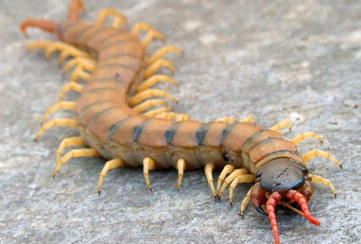 do centipedes bite