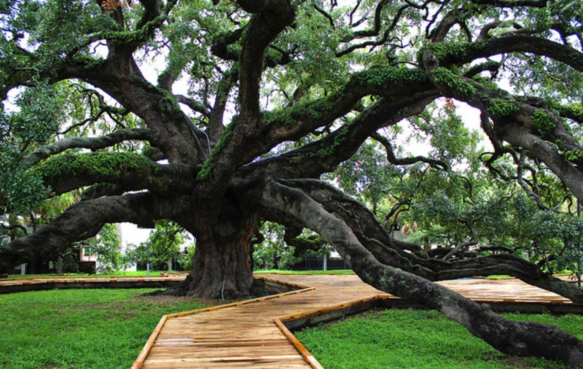 250 year-old Treaty Oak