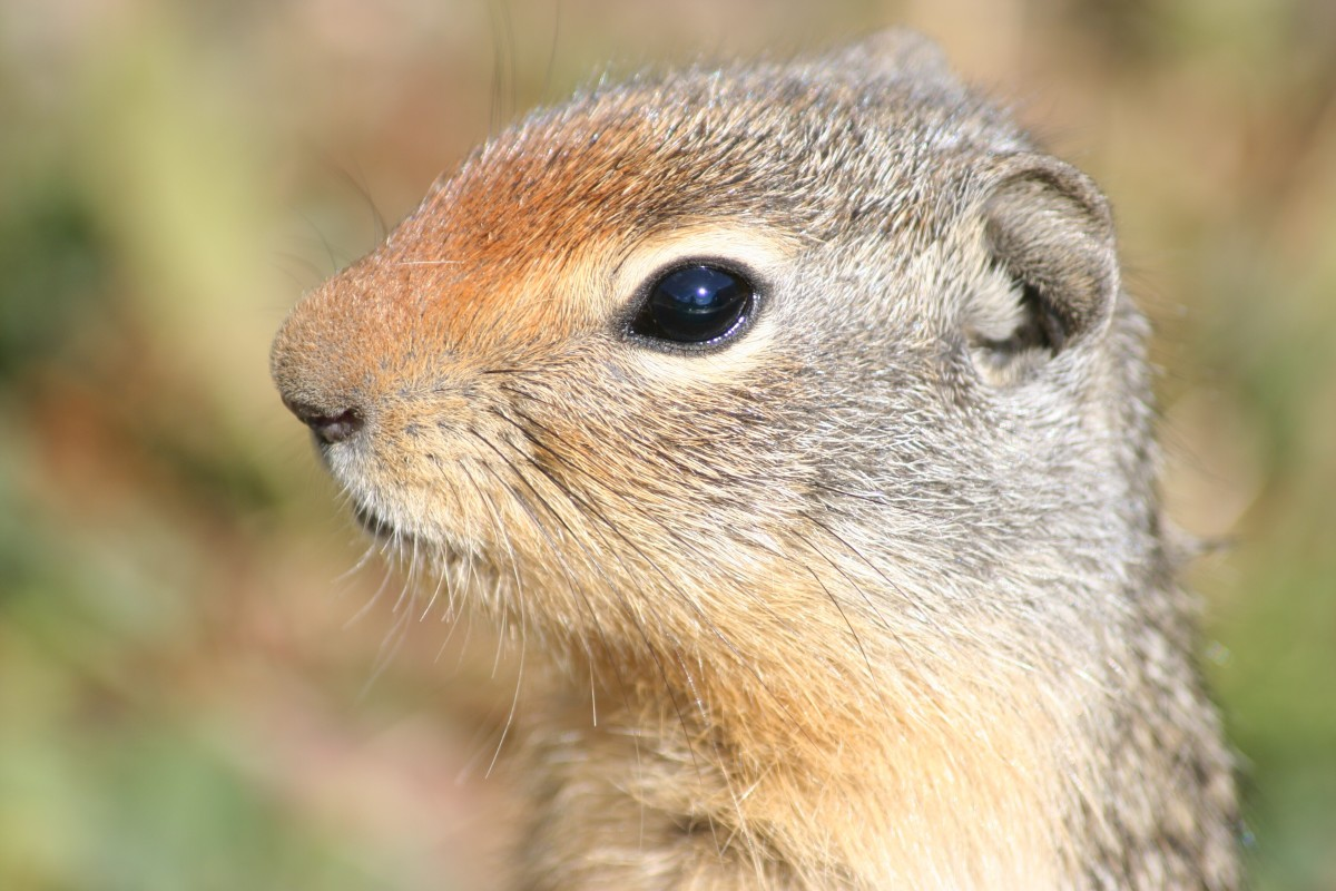 A close-up photo of a Columbian ground squirrel
