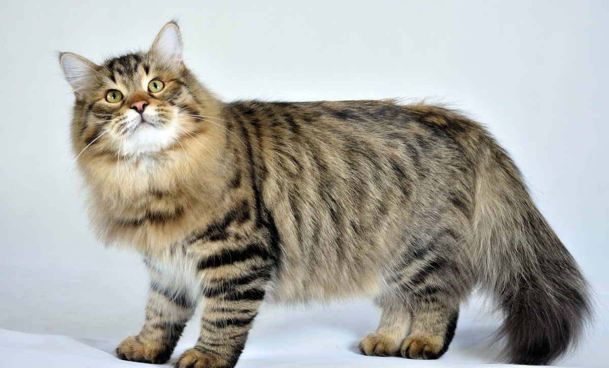 The Siberian Forest Cat