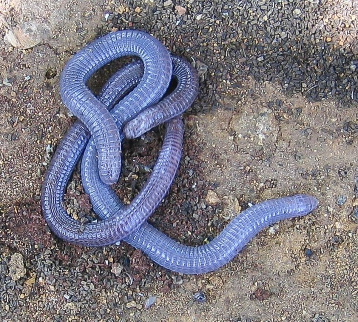 These are two Iberian worm lizards and not blue earthworms.