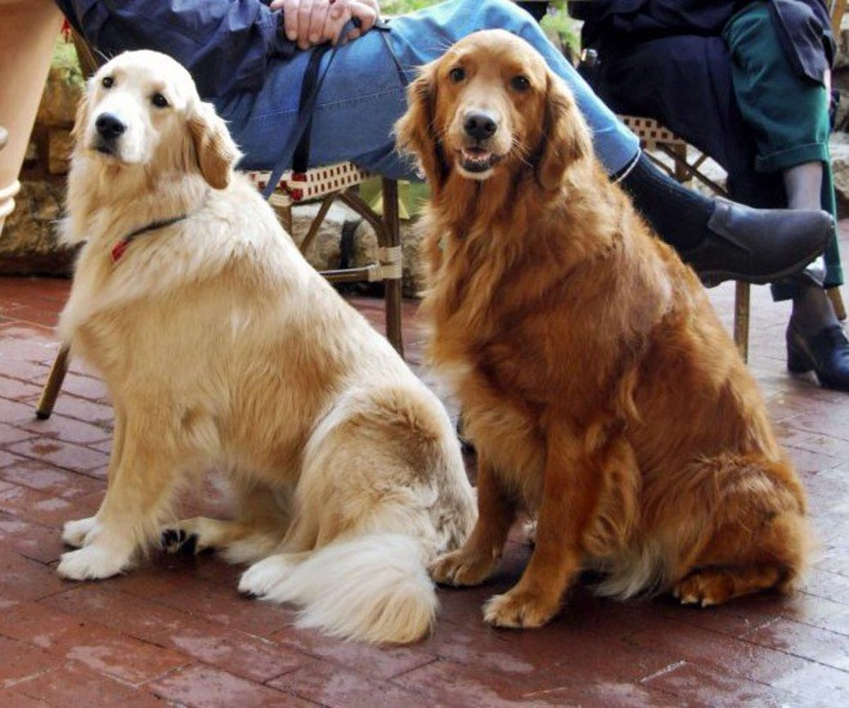 Cream golden retriever and darker golden retriever.