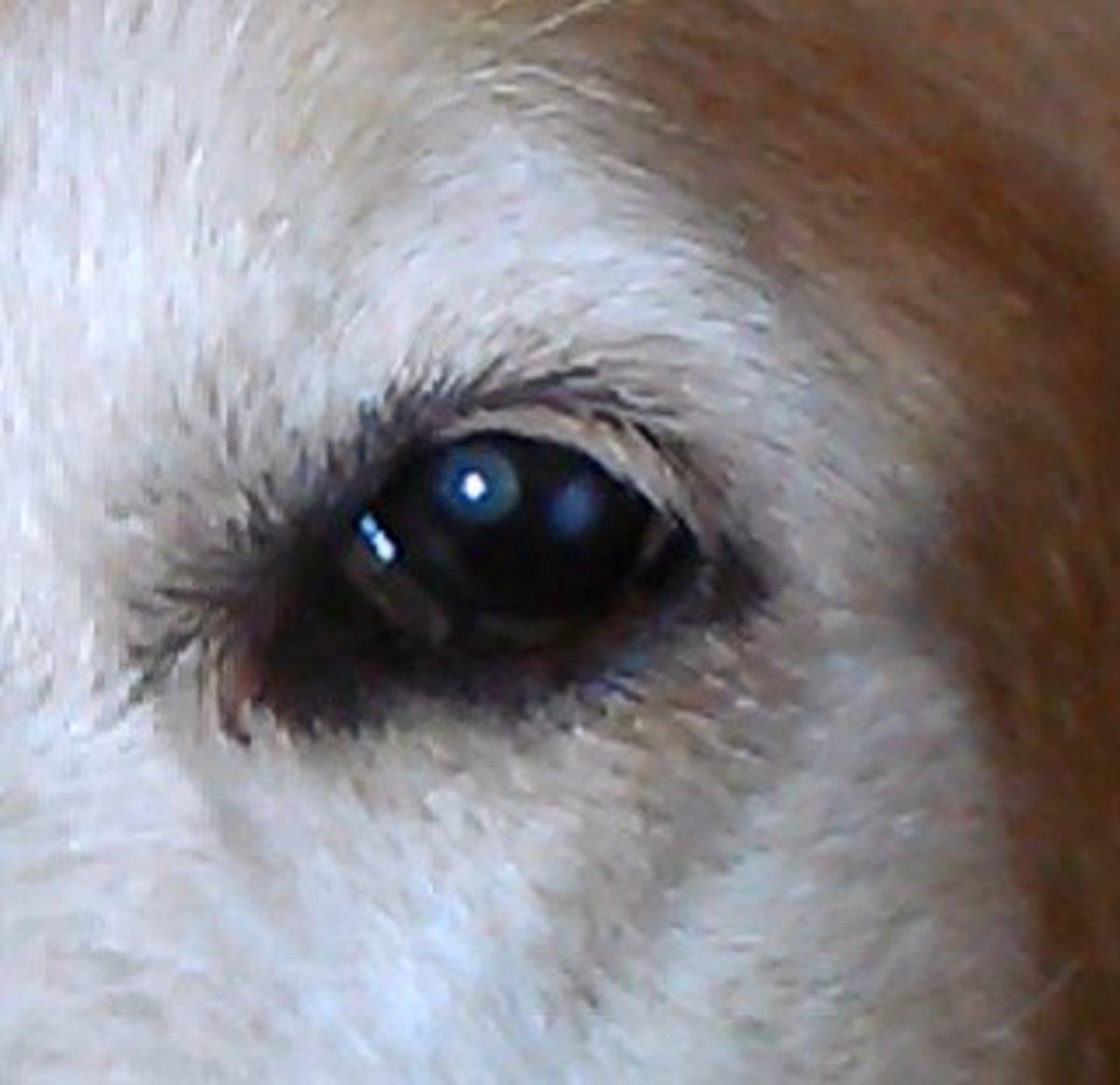 Dog eye with cholesterol deposit