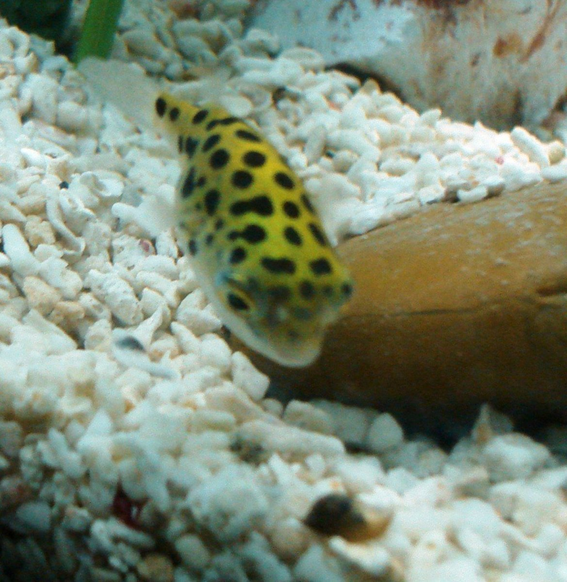 A Green Spotted Puffer Hunting a Snail