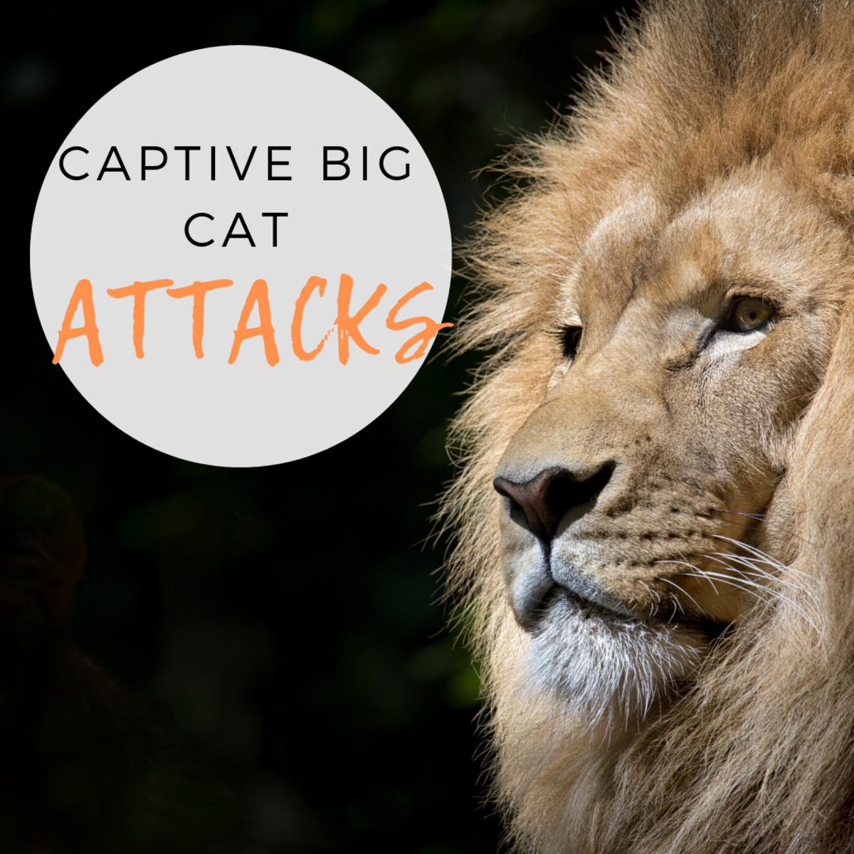 Captive Big Cat Maulings