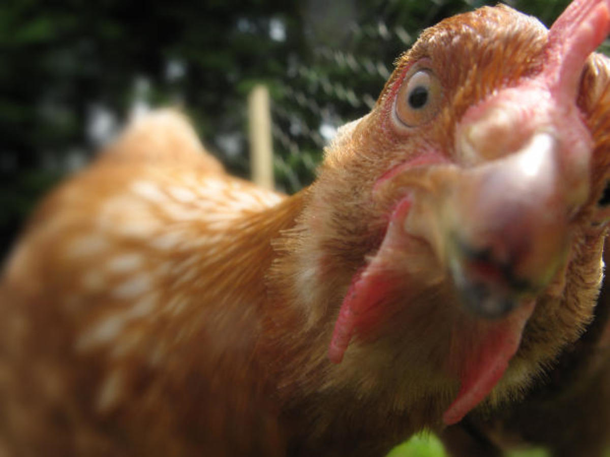 Chicken Addiction and the Urban Chicken Owner