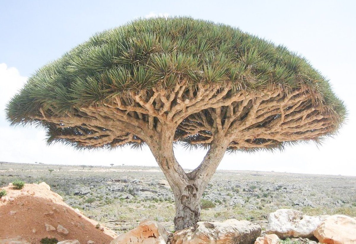 A dragon blood tree