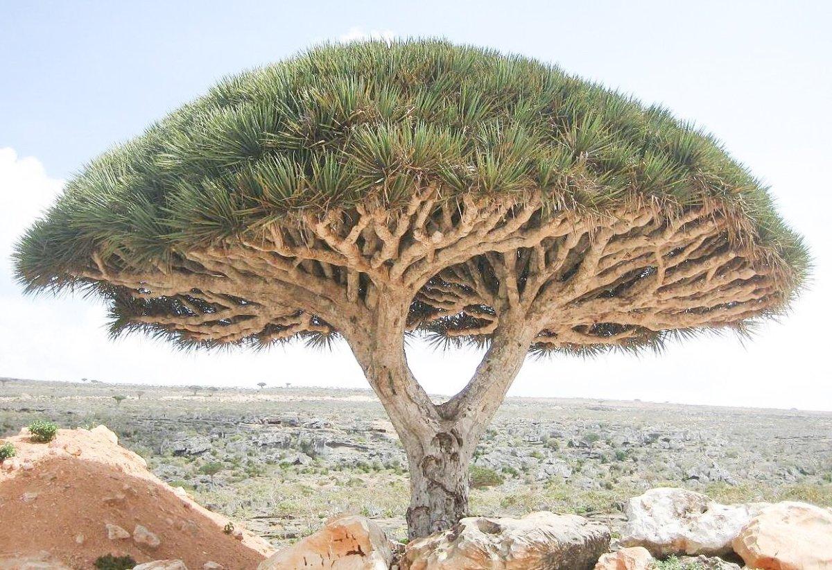The Dragon Blood Tree of Socotra Island - An Unusual Plant