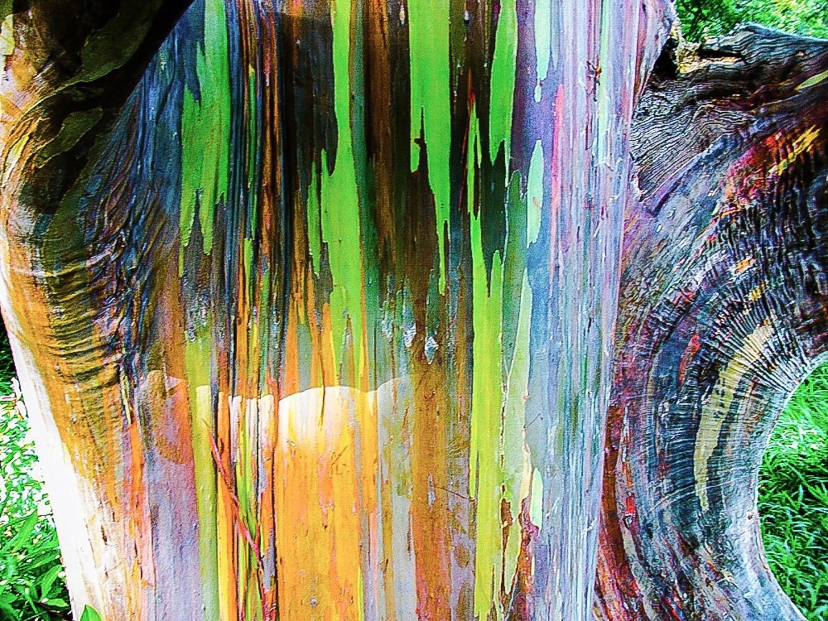 The bark of a rainbow eucalyptus tree growing in Hawaii