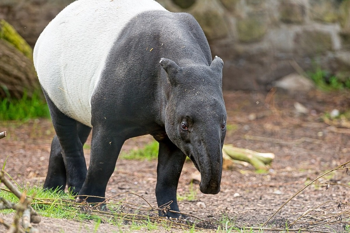 The Endangered Malayan Tapir (Tapirus indicus): Facts and Photos