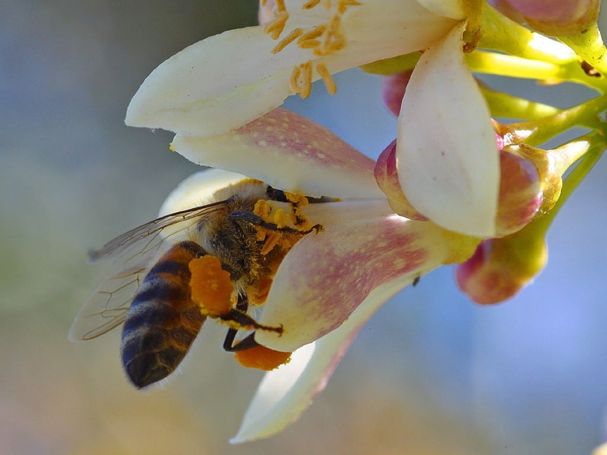 A honey bee collecting nectar and pollen.