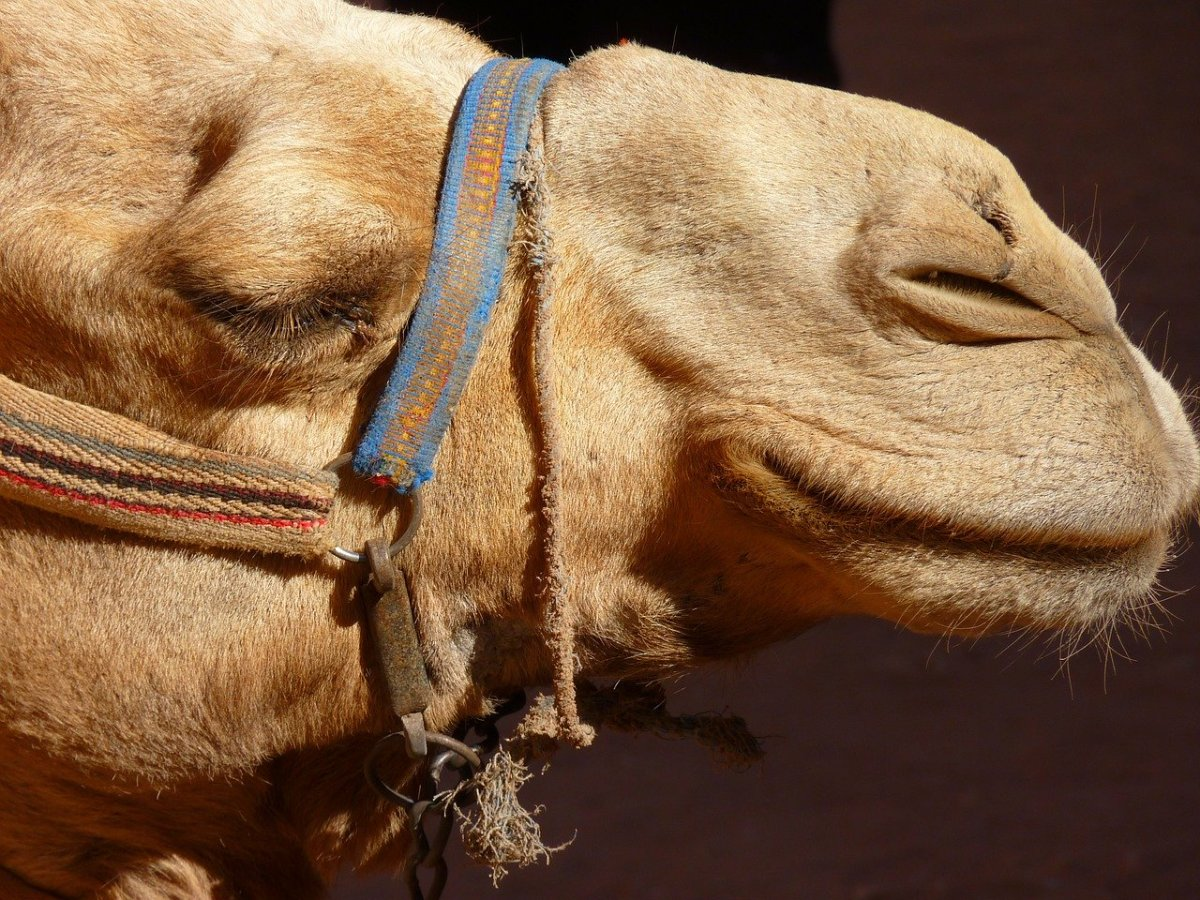 What does it mean if a camel is your power animal?