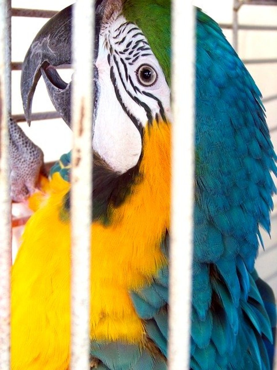 How to Get a Parrot to Go Back Inside Its Cage