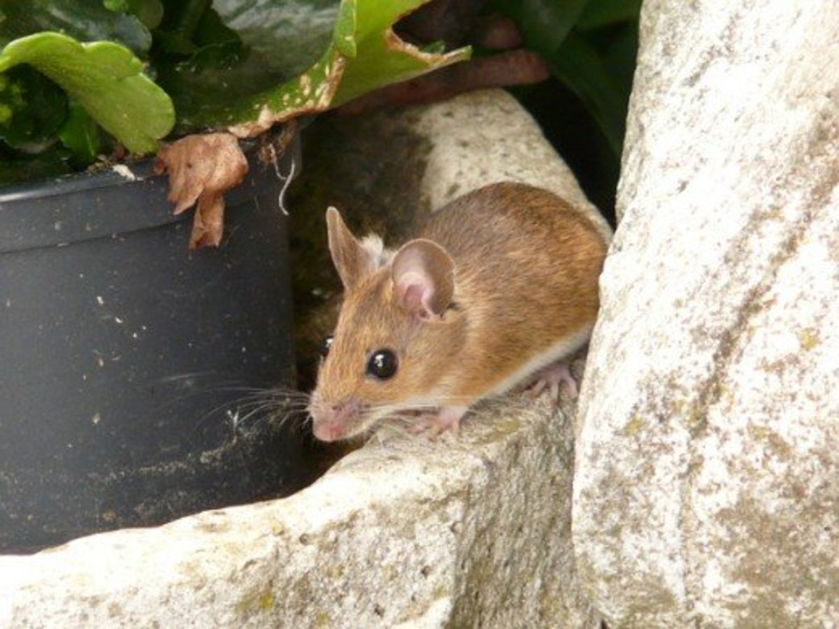 A wood mouse.  This type of mouse is very common across Europe and northwestern Africa.  It also known as a field mouse, common field mouse, long-tailed field mouse, and European wood mouse.