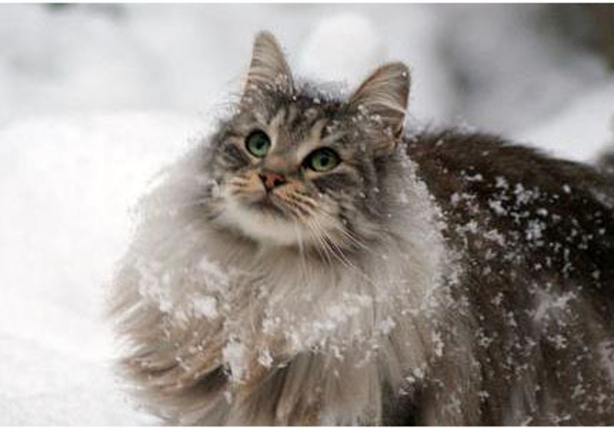 Image result for fluffy cats in snow""