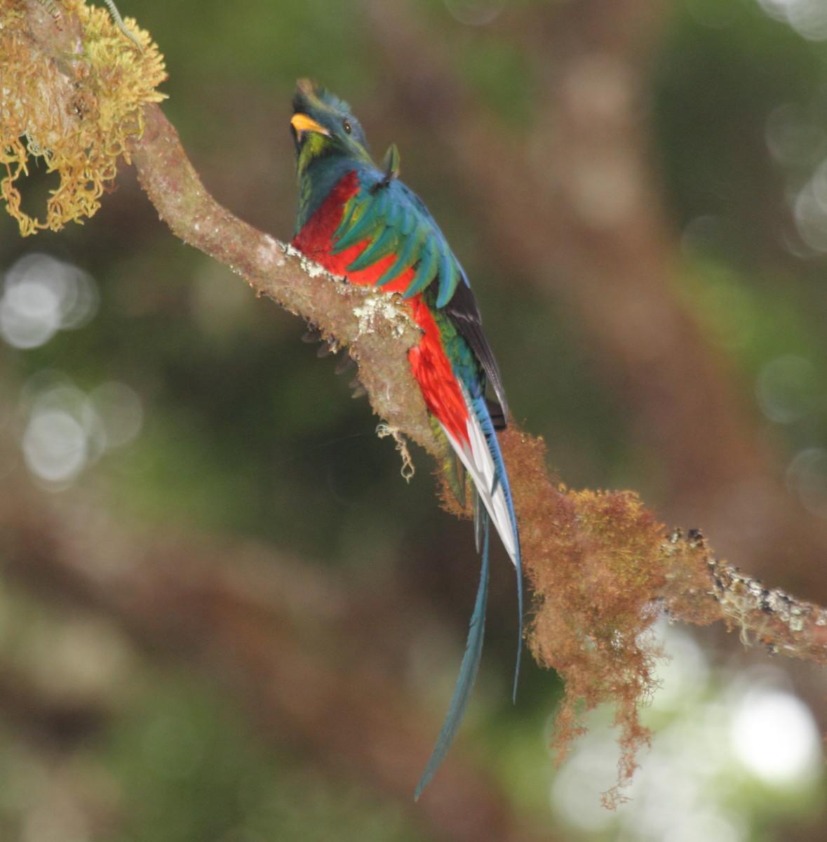 The Resplendent Quetzal has spectacular coloration.