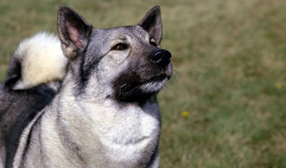 Who knows what name will be perfect for this proud Norwegian Elkhound.