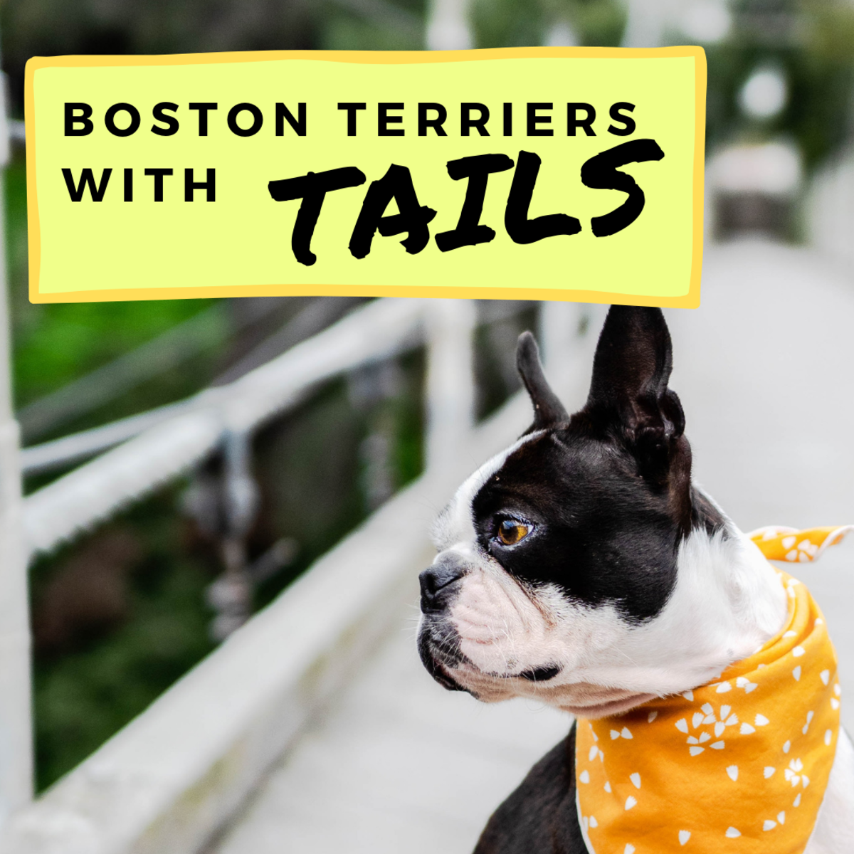 Boston Terriers With Tails