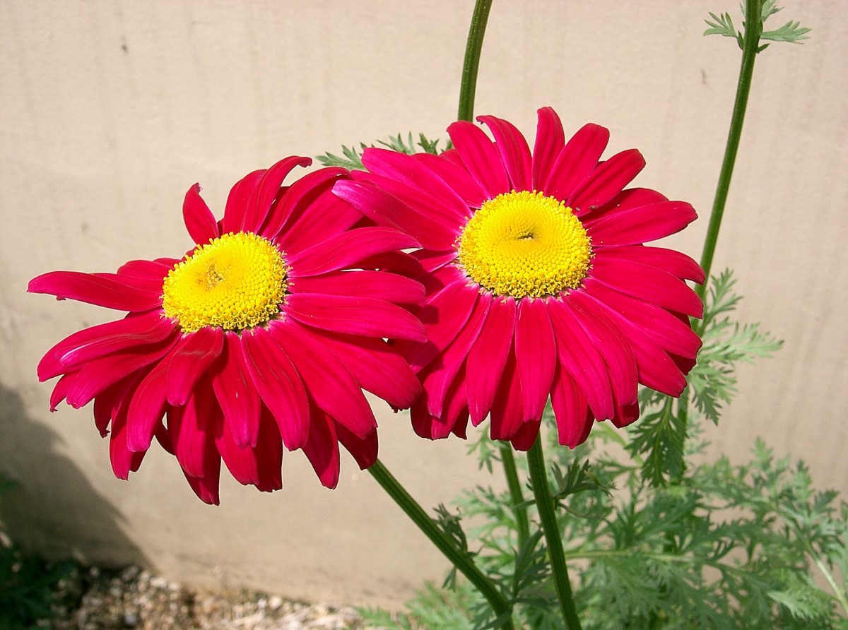 The Persian chrysanthemum or painted daisy produces less pyrethrin than the Dalmatian chrysanthemum.