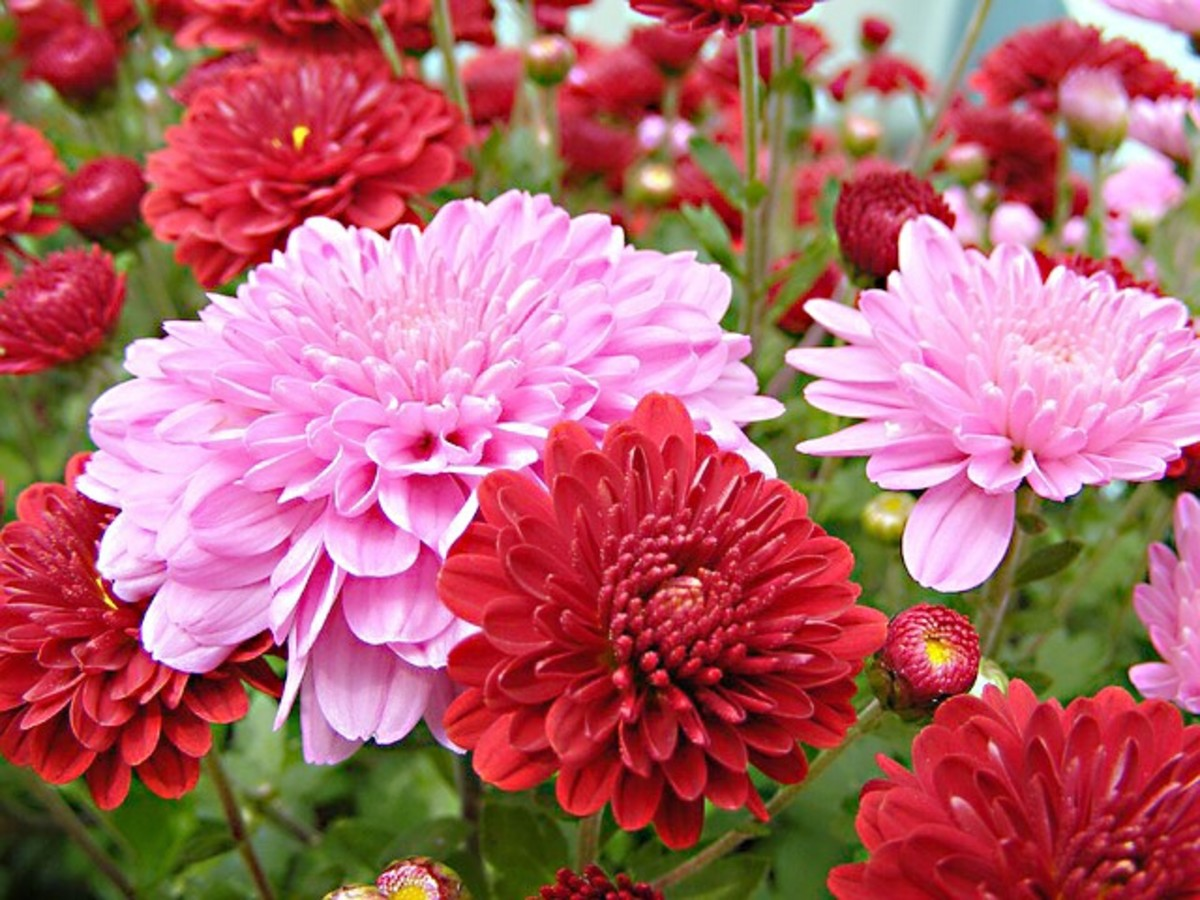 Chrysanthemums containing ray florets that hide the disk florets