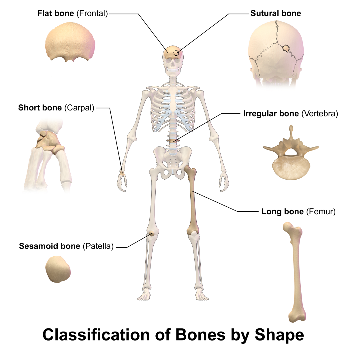 The six types of bones classified by shape