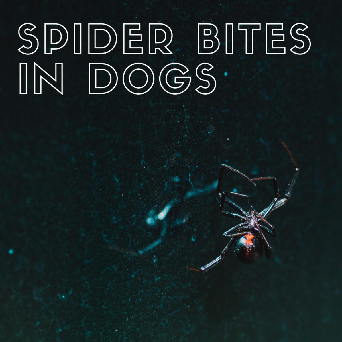 Spider bites in dogs.