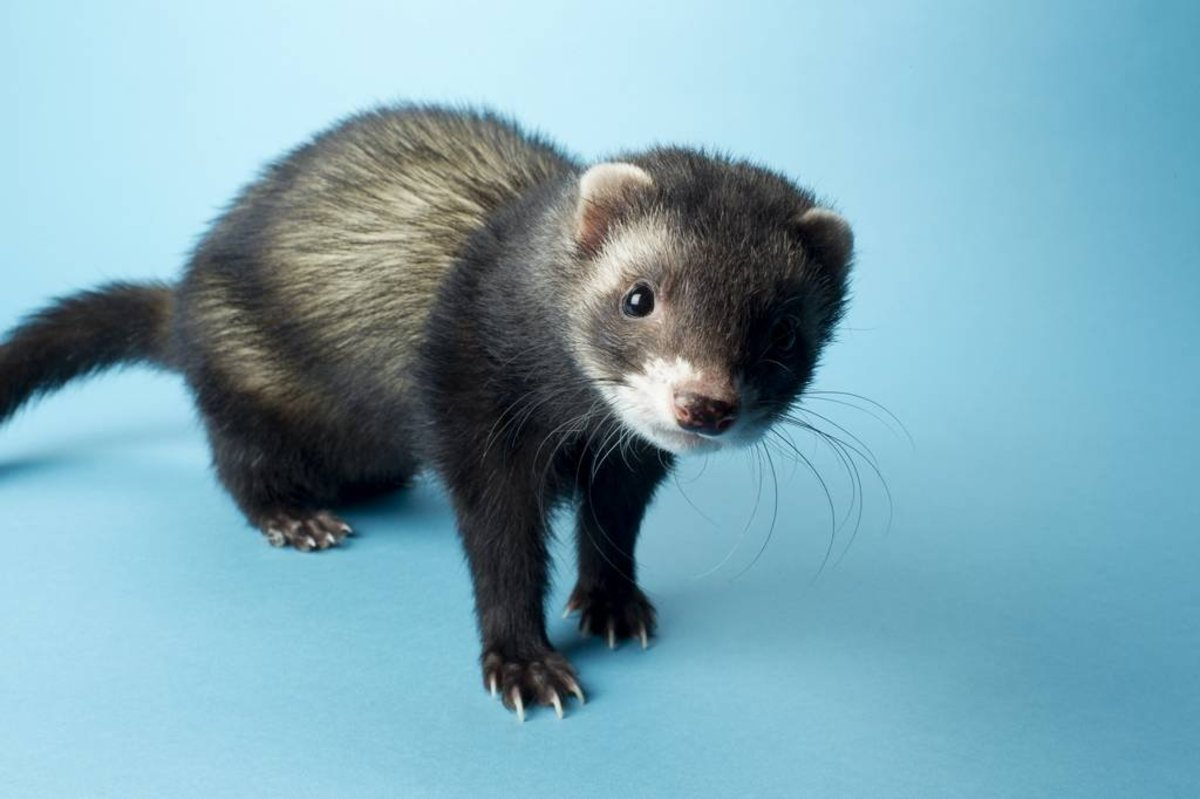 60 Cute and Funny Ferret Names