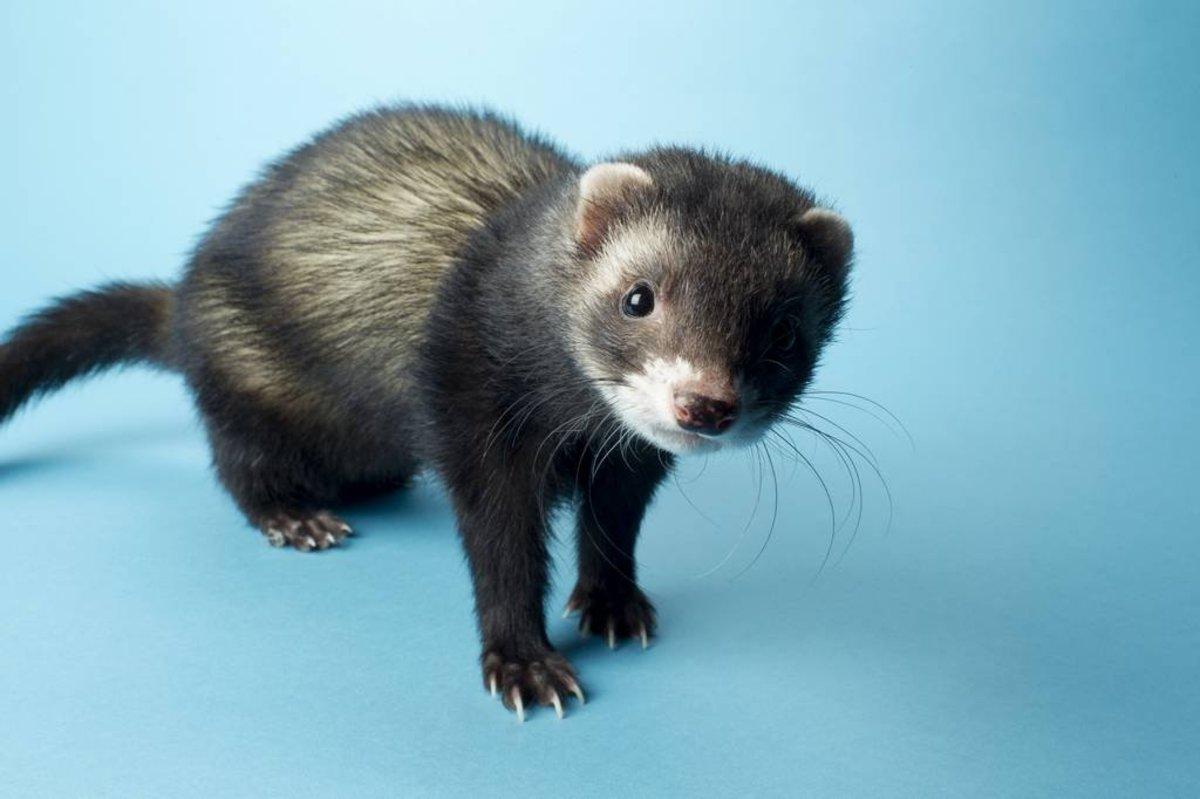 Naked girl with ferret consider