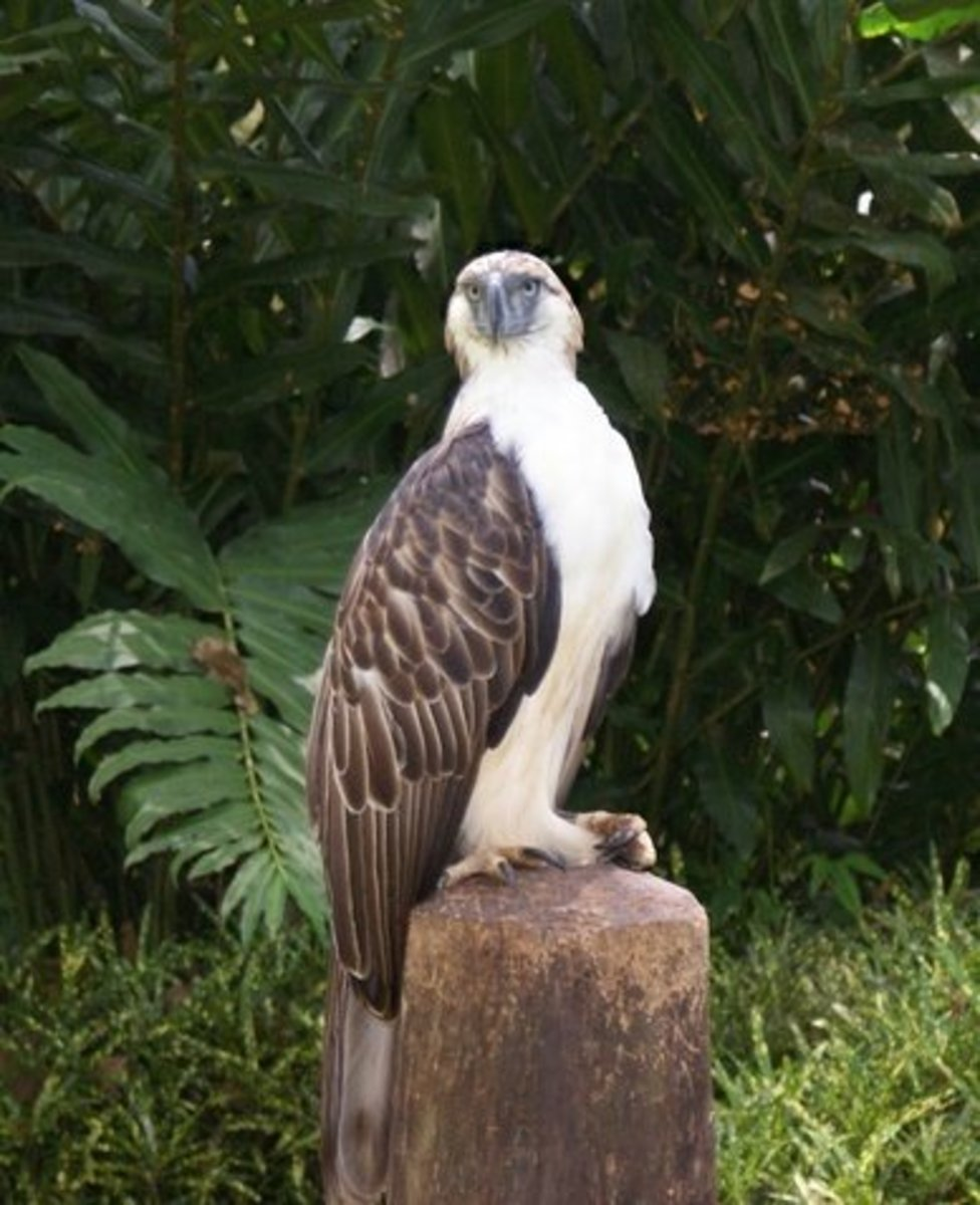 1. Philippine Eagle (scientific name: Pithecophaga jefferyi)