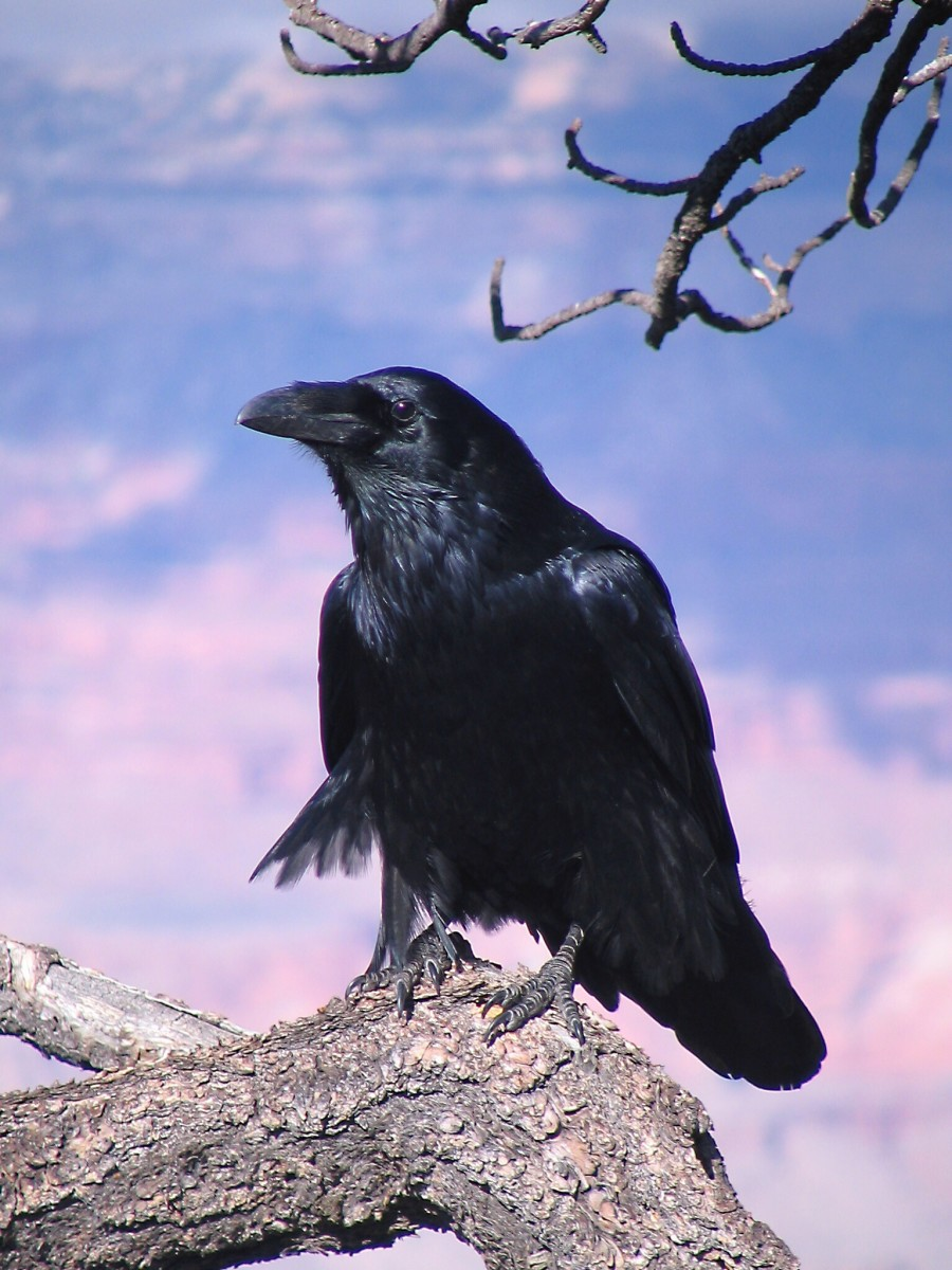 A common raven in the Grand Canyon, Arizona