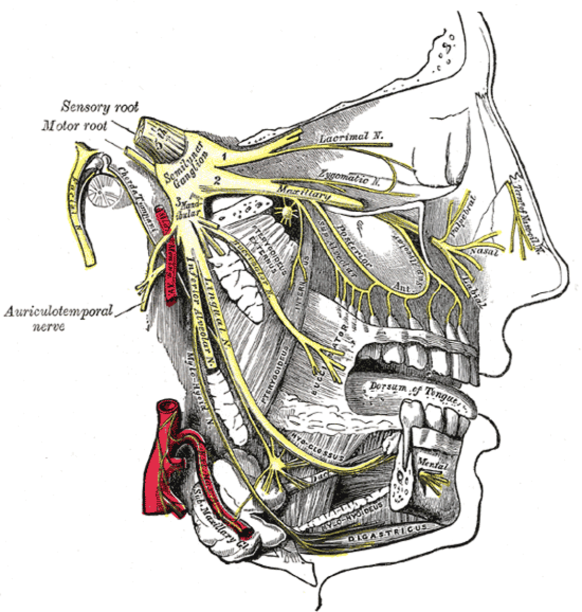 This illustration shows the trigeminal nerve's three major branches extending into the facial areas.