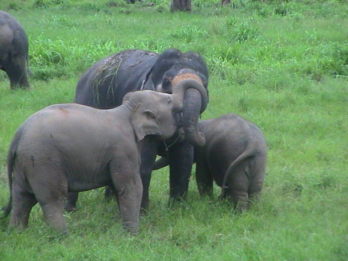 Elephants bonding using their trunks.
