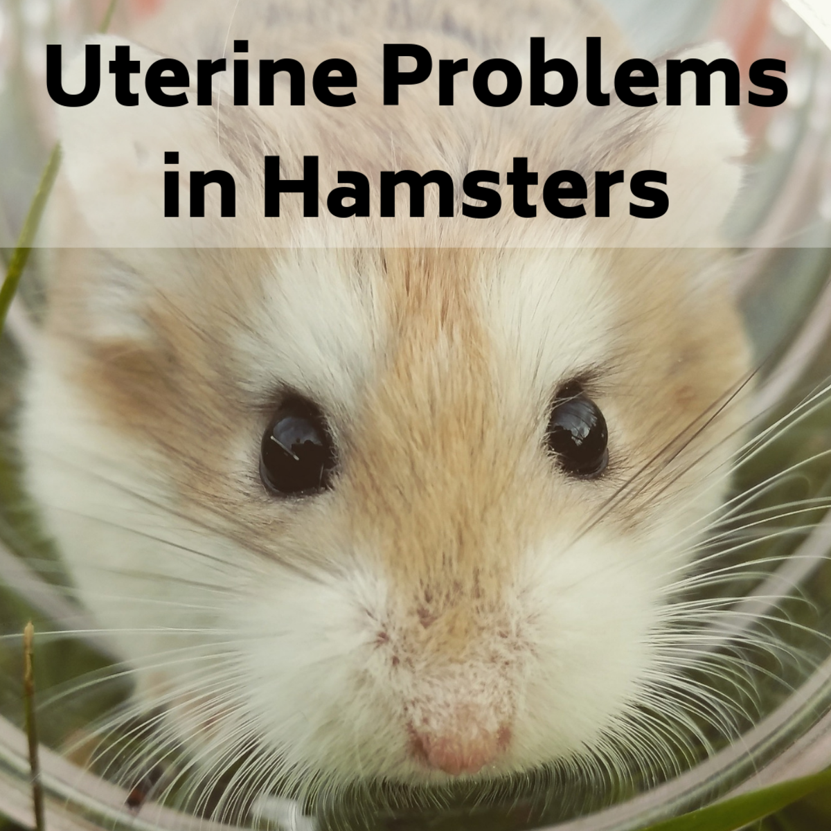 Uterine Problems in Hamsters: Signs, Symptoms, Treatment and Outlook