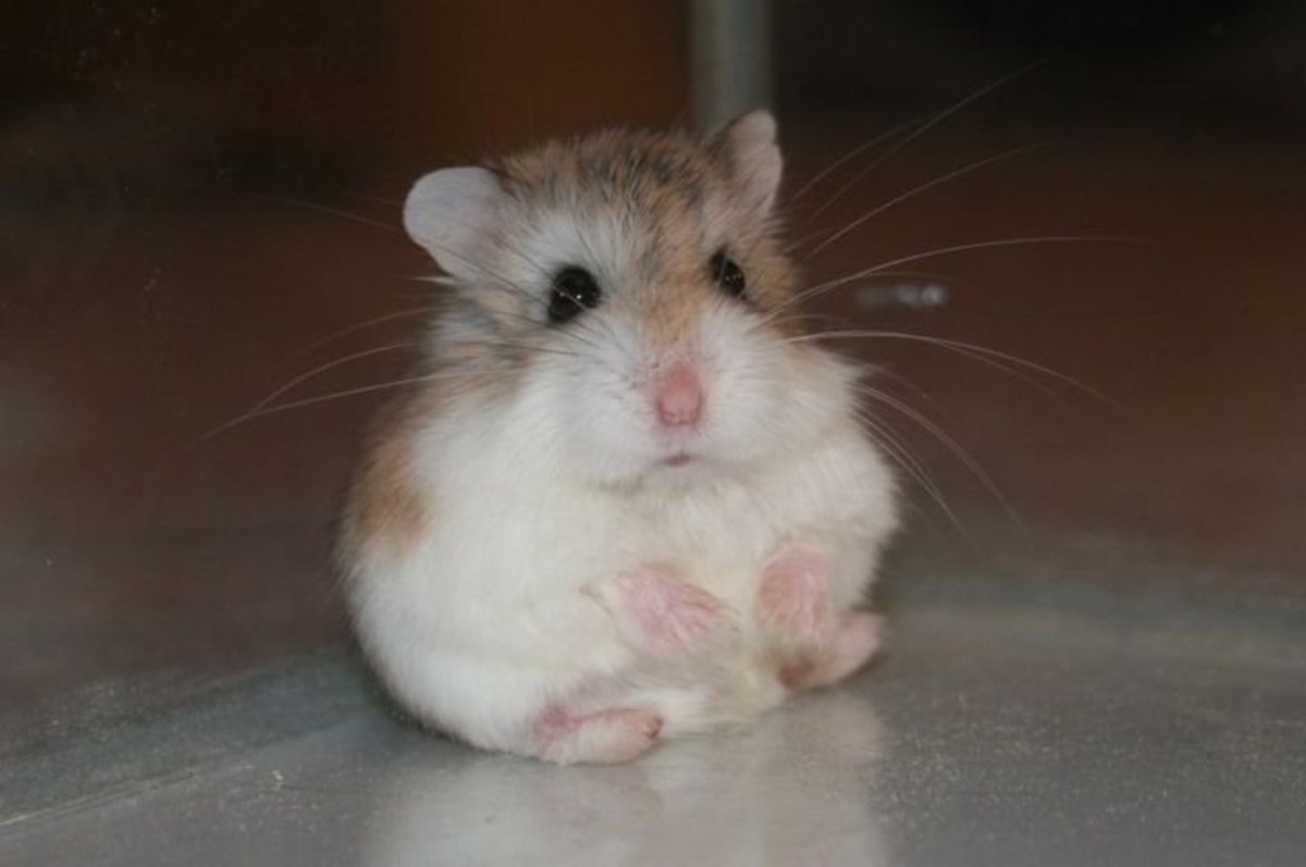 A Complete Guide to Roborovski Hamsters