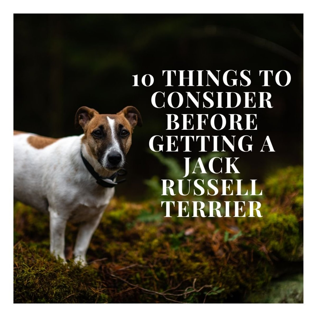 Learn all about the 10 factors you should consider before getting a Jack Russell Terrier!