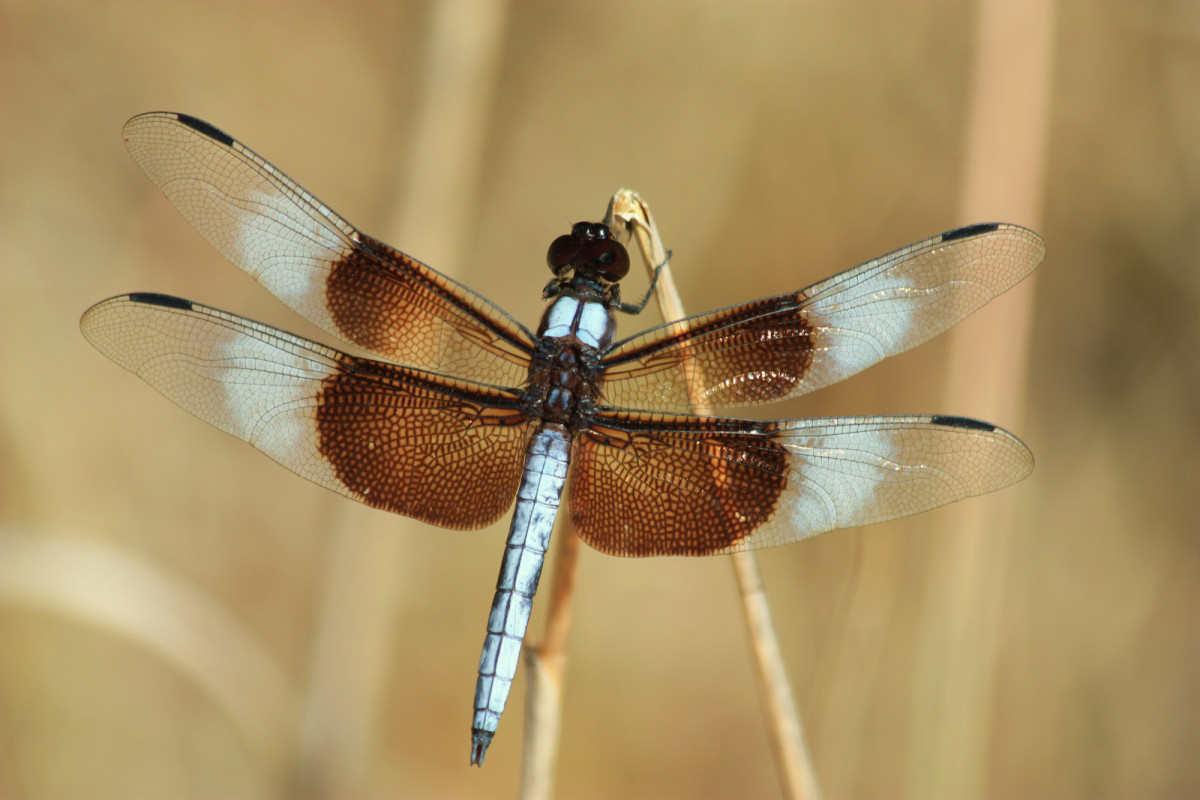 Interesting Facts And Information On the Dragonfly