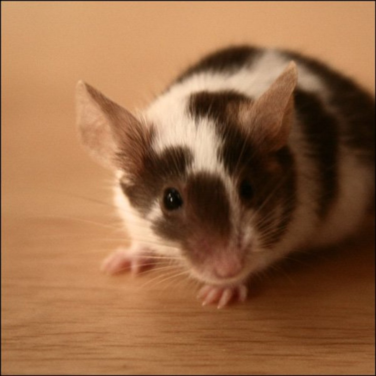 Health Problems in Pet Mice