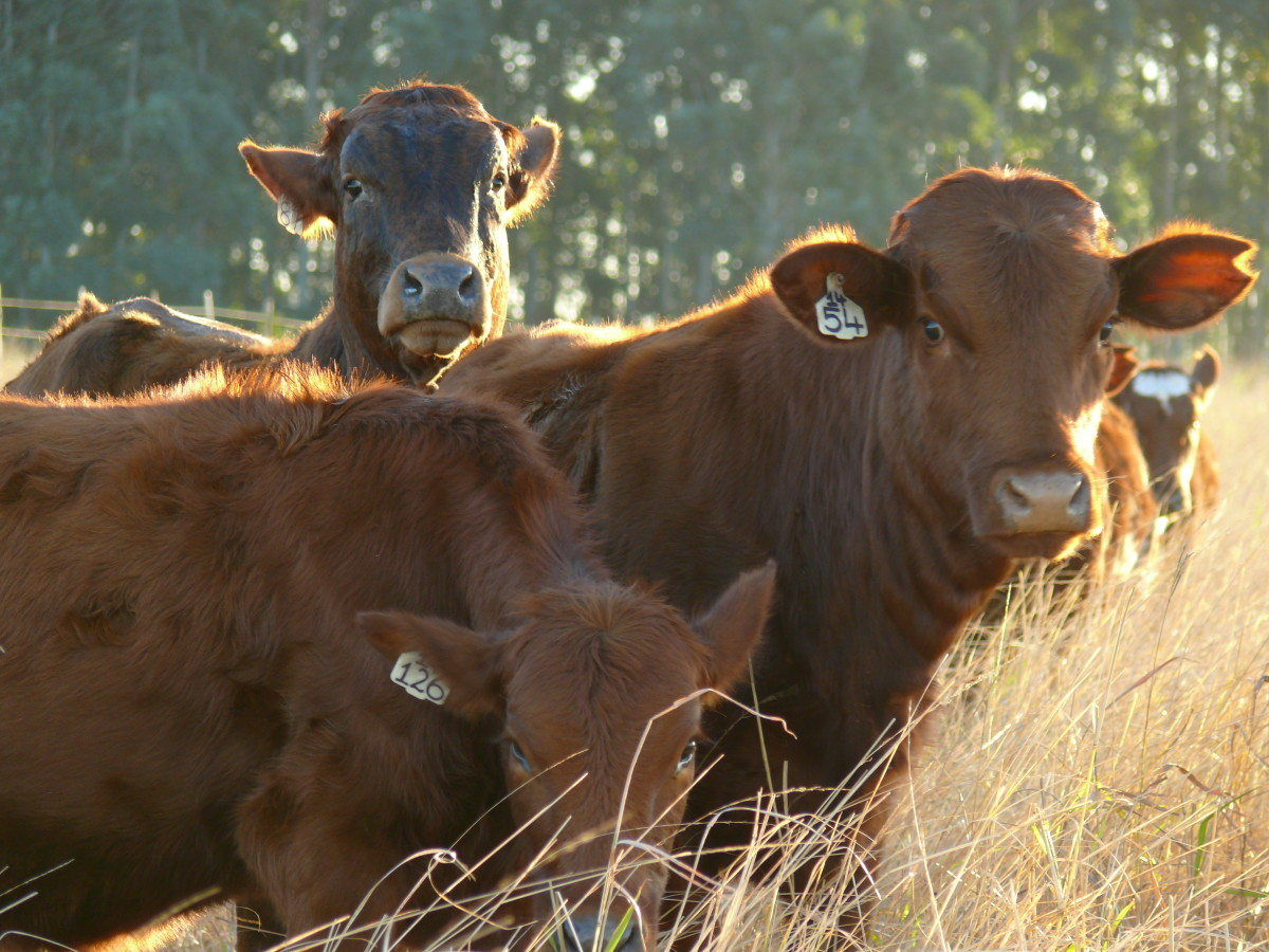 Cattle from a farm in the Eastern Cape