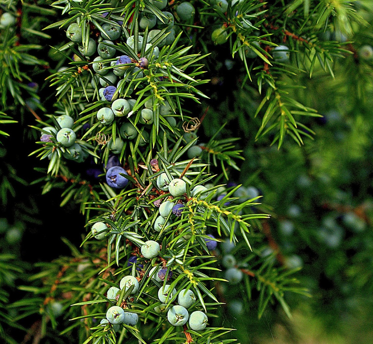 Juniper berries contain many ingredients to help arthritis sufferers.
