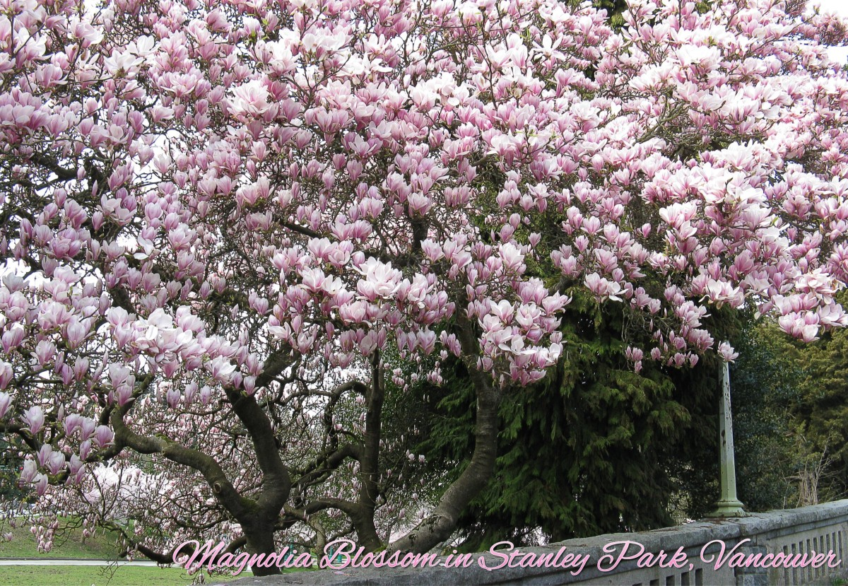 A magnolia tree in bloom in Stanley Park