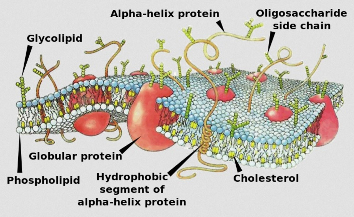The cell membrane is a fluid, semi-permeable barrier which not only protects the interior of the cell but controls the movement of substances in and out.