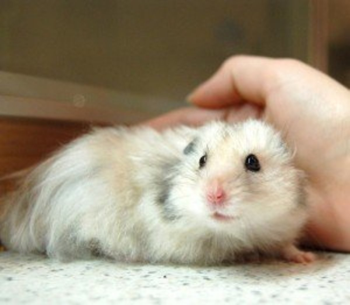 A beautiful and healthy Syrian hamster