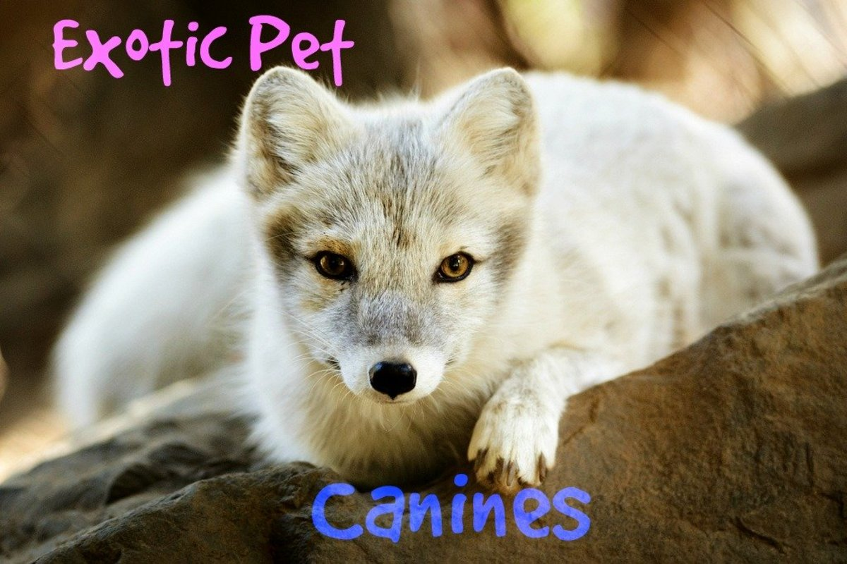 6 Exotic Wild Dogs (Non-domesticated) that are kept as Pets