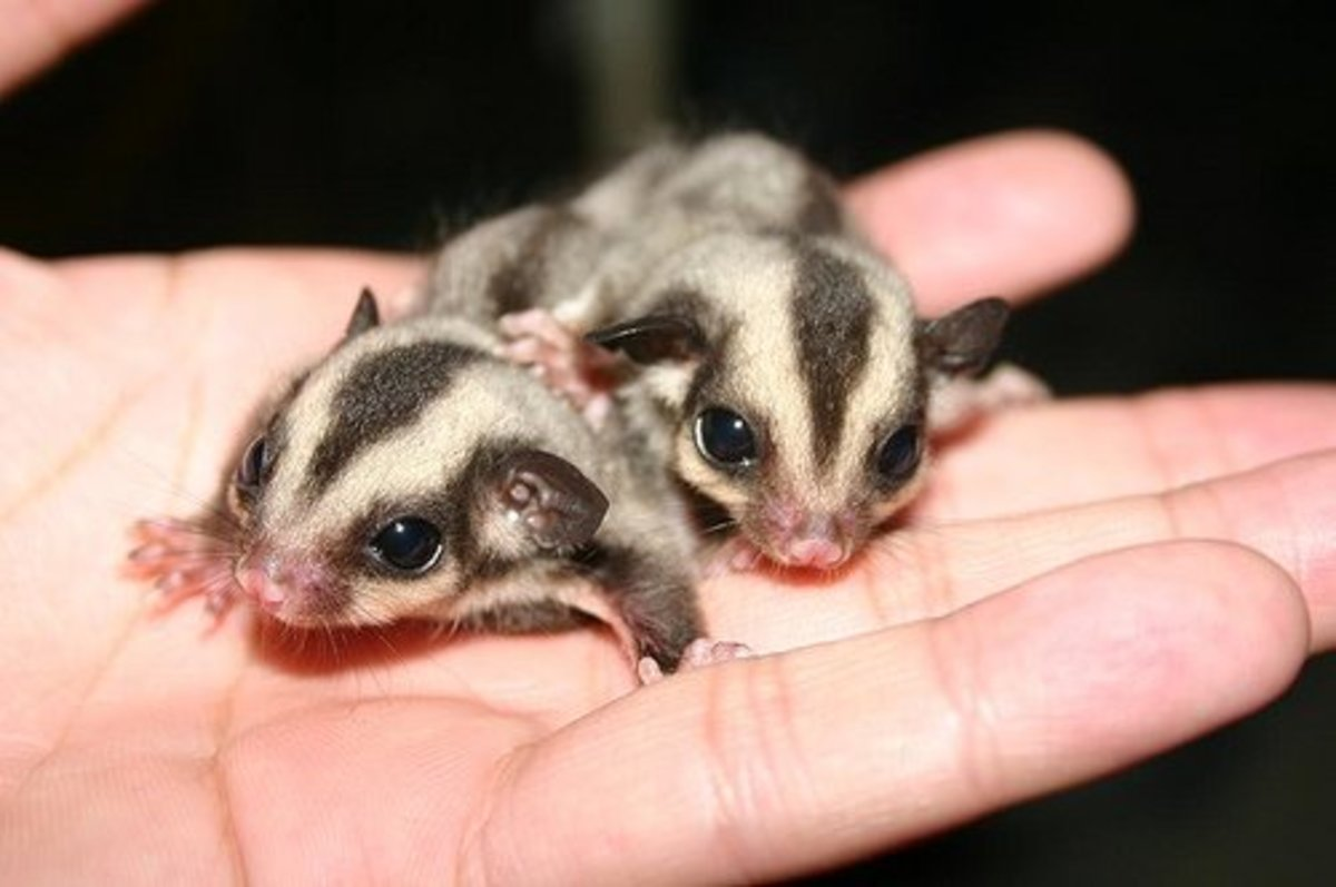 Reasons why Sugar Gliders should not be kept as Pets.