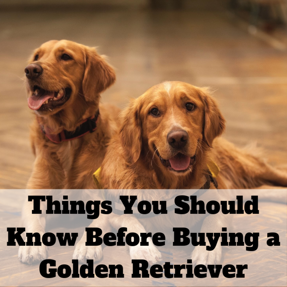 13 Things to Consider Before Buying a Golden Retriever