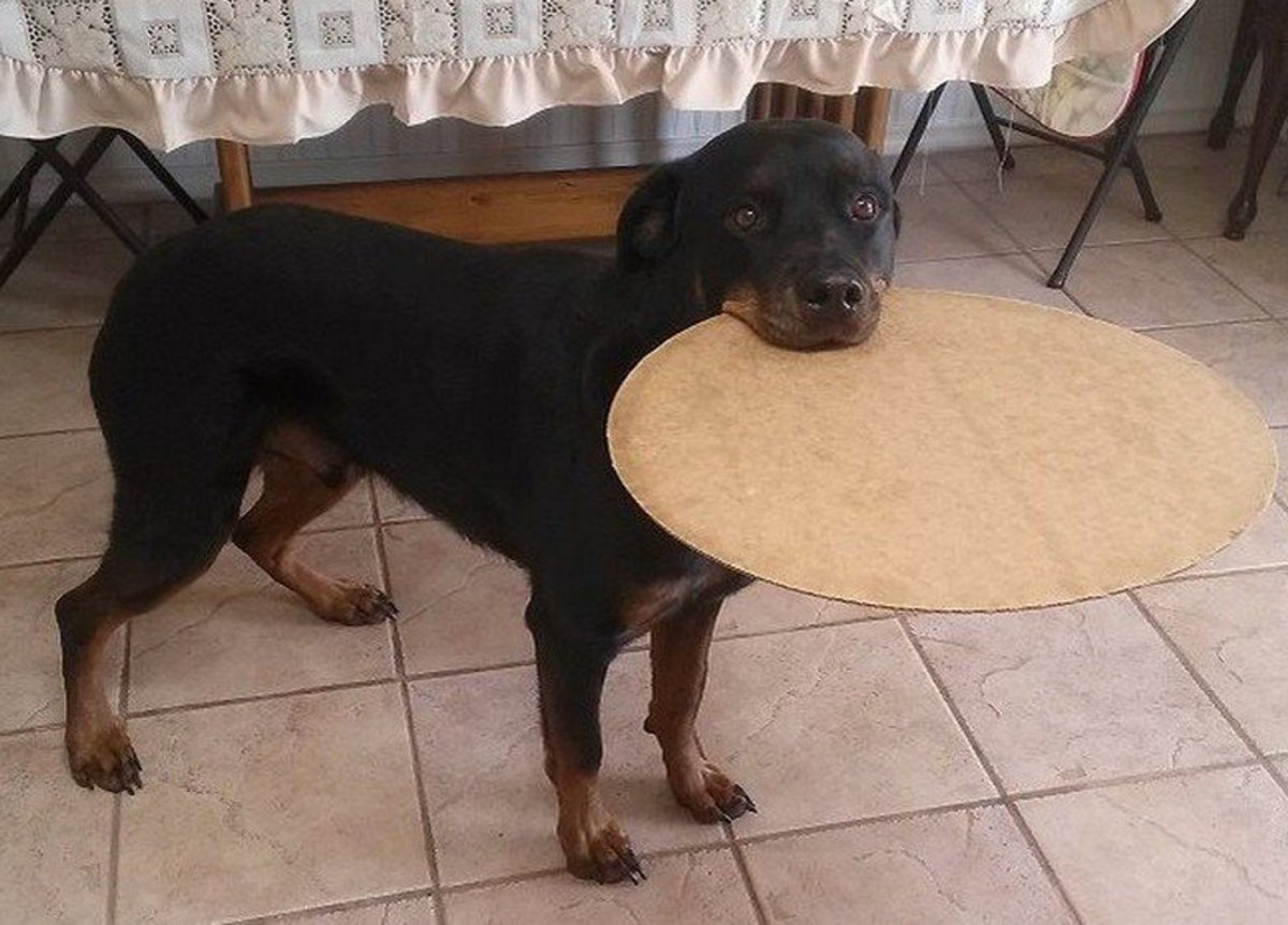 My Rottweiler Was Diagnosed With a Pinched Nerve Last Week