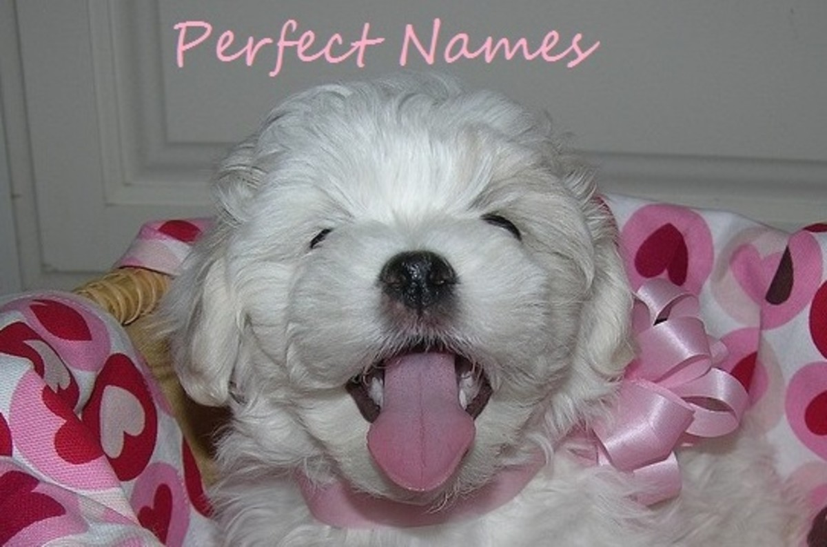 Here are a few names for a new Coton puppy.