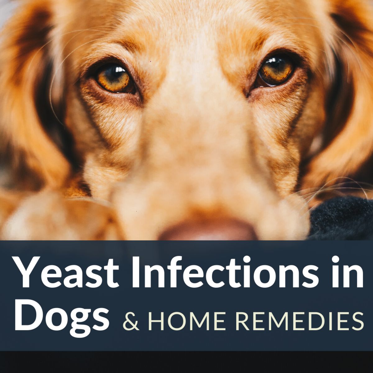How to Stop Hair Loss and Itching in Dogs From Yeast Overgrowth