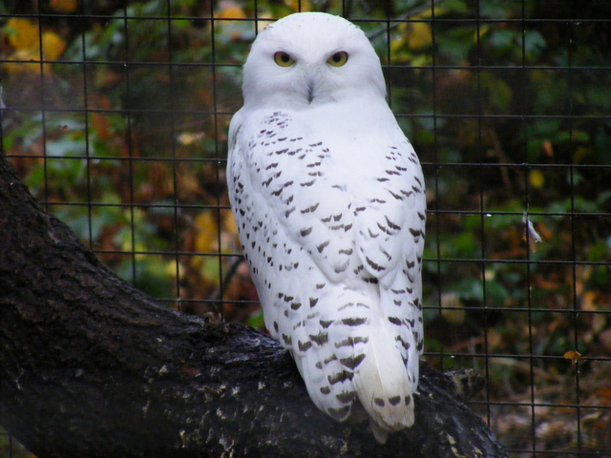 Owl energies can be drawn to a crystal by using an owl feather in recharging. Owl energy can help to enhance intuition and wisdom as well being useful during transitions in life.